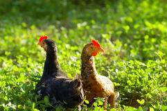 Chicken on grass Royalty Free Stock Image