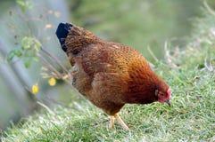 Chicken in grass Stock Photo