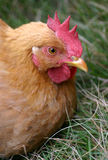 Chicken in the grass. Close-up of a chicken Royalty Free Stock Image