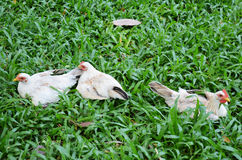 Chicken at grass field Royalty Free Stock Photo