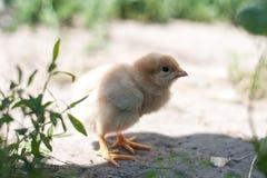 Chicken on grass Stock Photo