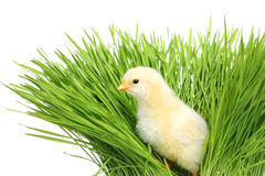 Chicken in green grass royalty free stock photography