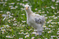 Chicken in the green grass 2 Royalty Free Stock Photos