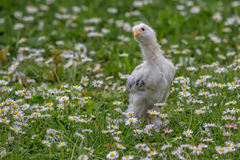 Chicken in the green grass 3 Stock Image