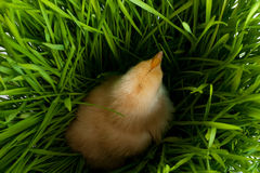 Chicken in green grass Royalty Free Stock Image