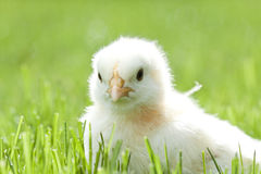 Chicken in the green grass Stock Photos