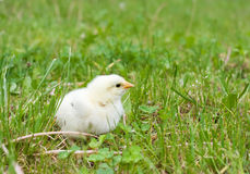 Chicken on the green lawn Stock Image