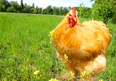 Chicken on a green meadow royalty free stock image