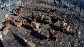 Chicken. Group of chicken living ouside on the floor Royalty Free Stock Photo