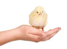 Chicken in hand Stock Images