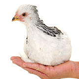 Chicken in hand Stock Photo