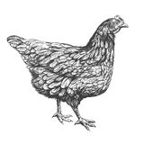 Chicken hand drawn vector illustration realistic sketch royalty free illustration