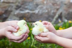 Chicken in hand. Royalty Free Stock Photography