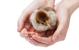 Chicken in hands Stock Image