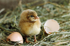 Chicken hatched from egg and looking at camera Royalty Free Stock Photo