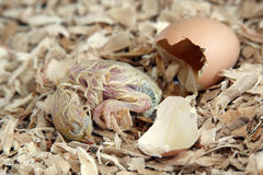 Chicken Hatching Stock Photography