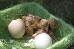 Chicken Hatching From Egg stock photography
