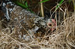 Hen hatching eggs in a nest. Chicken hatching eggs in the bush among the dry grass, chicken hen close-up royalty free stock image