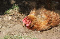 Chicken having a dust bath. Royalty Free Stock Photos