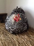 Chicken on a hay bale Royalty Free Stock Image