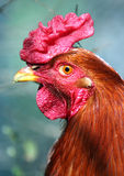 Chicken head. Head and neck of bosnia red chicken royalty free stock images