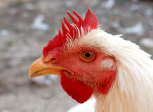 Chicken head. Close up of white chicken head Royalty Free Stock Photos