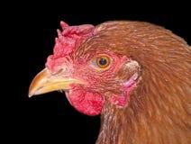 Chicken head. On black background Stock Photo