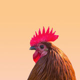 Chicken Head Stock Image