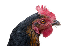 Chicken head Royalty Free Stock Image