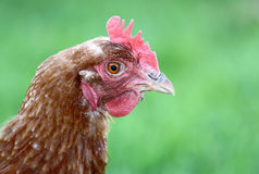 Chicken Head Royalty Free Stock Photography