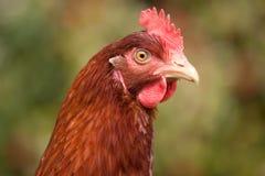 Chicken Head. Headshot of a chicken in a garden Stock Image