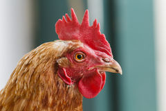 Chicken Head Royalty Free Stock Images