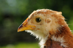 Chicken Head Close-Up Royalty Free Stock Photos