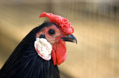 Chicken head closeup Royalty Free Stock Images