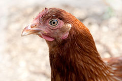 Chicken head side on Stock Images