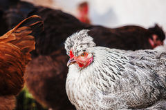 Chicken head with tuft. Silver-gray tint by Legbar breed Royalty Free Stock Photos