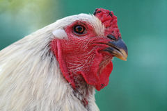 Chicken head. White chicken with red comb gazed at photographer Stock Images