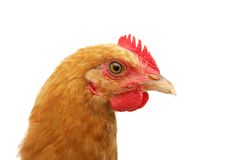 Chicken headshot Royalty Free Stock Photos