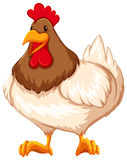Chicken. Healthy chicken standing with white background Royalty Free Stock Photography