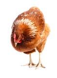 Chicken hen Stock Photos