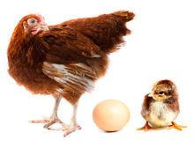 Chicken hen, chick and egg. royalty free stock image