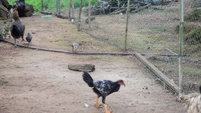 Chicken and Hen and chicks stock video footage