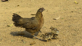 Chicken hen and chicks Royalty Free Stock Photos
