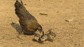 Chicken hen and chicks Royalty Free Stock Images