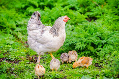 Chicken hen with chicks Royalty Free Stock Photography