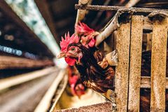 Chicken hen closeup in farm royalty free stock photos