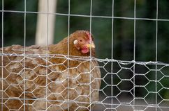 Chicken Hen in coop, red comb. Large brown feather chicken hen in hogwire chicken coop, red comb. Egg layer female fowl. Domesticated farm fowl Stock Image