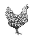 Chicken or hen drawn in vintage engraving or etching style. Farm poultry bird isolated on white background. Vector. Illustration in monochrome colors for poster Stock Photo
