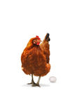 Chicken hen and egg Royalty Free Stock Images
