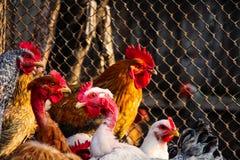 chicken hen face closeup body nature stock photography